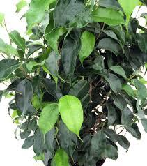 Indoor Plants Low Light by Amazon Com Wintergreen Weeping Fig Tree Ficus Great Indoor
