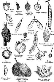 best 25 tree seeds ideas on seed pods seeds and