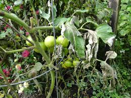 Plant Diseases With Pictures - late blight tomato disease with pictures hydrangeas blue
