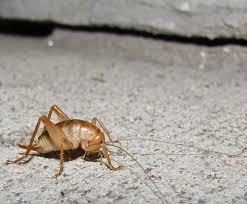 bug eric camel crickets