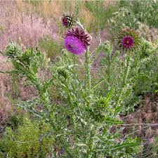 arizona native plant society musk thistle u2014 northern arizona invasive plants