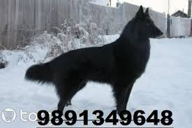 belgian malinois jet black german shepherd dog alsatian price in india german shepherd dog