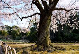 a twisted cherry blossom tree in a japanese garden park stock