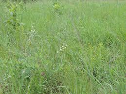 native prairie plants wild ones native garden grants wild ones u2013 st louis chapter