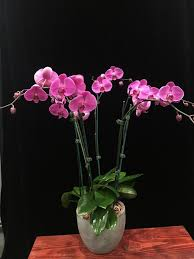 orchid plants magenta phalaenopsis orchid plants 6 spikes flowers