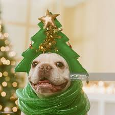 french bulldog wearing hat and green ribbon in front of christmas