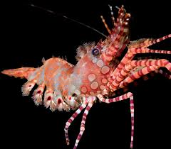Pleins De Crabe Violonistes Très A Guide To The Decapod Crustaceans Of The South Pacific