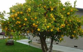 the different types of lemon trees