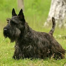 scottish yerrier haircuts scottish terrier puppy scottish terrier breed information