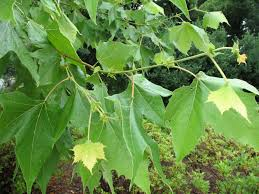 12 best plant materials for houston shade trees images on