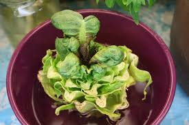 Vegetables You Can Regrow by How To Regrow Romaine Lettuce From The Stem Gettystewart Com