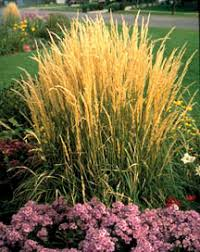 ornamental grasses 7 232 extensionextension