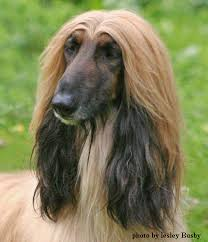 afghan hound pictures afghan hound u2013 the fashion party