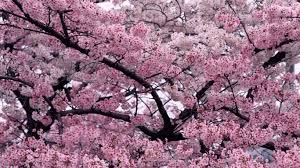cherry blossom tree 11670 cherry blossom tree widescreen background wallpaper