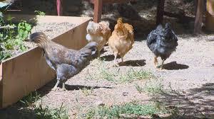 chickens in backyard you can grow it raising backyard chickens ktvb com