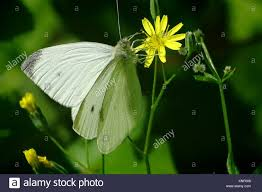 Seeking Usa A Small White Butterfly Seeking Nectar Pennsylvania Usa Stock
