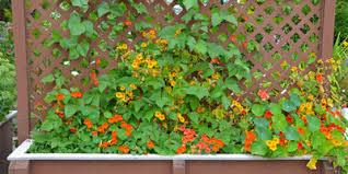 Downspout Trellis How To Use A Garden Trellis Do It Best