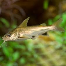 black fin shark catfish arius jordani for sale online petsolutions