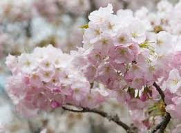 cherry blossom tree facts 16 amazing facts on cherry trees in japan japan experience com
