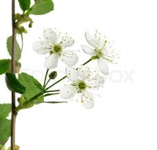 tree with white flowers white flowers on the fruit tree stock photo colourbox