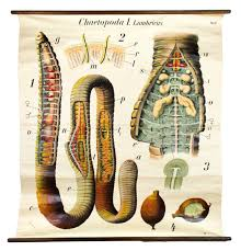 wall chart earth worm 1920s for sale at pamono