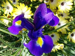 Irises How To Plant Grow by How To Grow Organic Irises On The Green Farms
