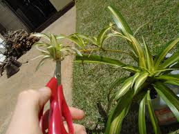 Spider Plant How Do I Reproduce This Spider Plant From The Little Baby Plants