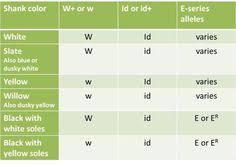 multiple allele traits in chickens ap biology pinterest