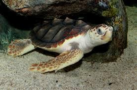 protecting sea turtles key west aquarium