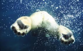 remington archibald polar bear wallpaper 1080p windows