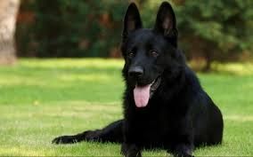 k lin belgian sheepdogs 7 things you didn u0027t know about the black german shepherd animalso