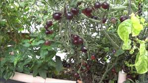 harvesting the aquaponic indigo rose tomato plant youtube