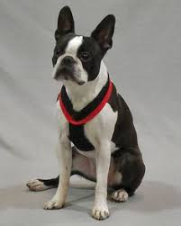 Comfort Flex Dog Harness Ace Pug Corgi Chihuahua Mix Is A Harness Escape Artist But