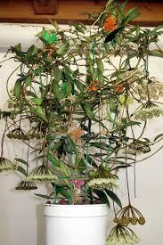 vermont native plants hoya mirabilis 031116b vermont hoyas hoya pinterest