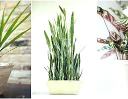 best indoor plants for low light tall indoor plants low light glamorous tall office plants ideas tall
