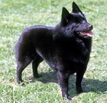 belgian sheepdog on petfinder adopt a schipperke dog breeds petfinder