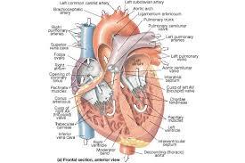 Heart Anatomy Arteries Bio 100 Heart Anatomy