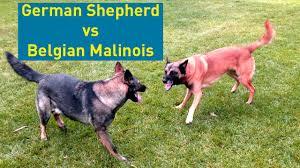 belgian sheepdog pros and cons german shepherd vs belgian malinois comparison youtube