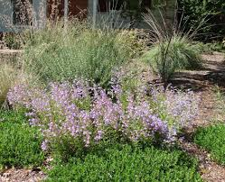 nativ plants native plants on the chico state campus the real dirt blog anr