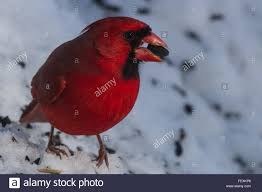 male cardinal eating sunflower seed in the snow stock photo