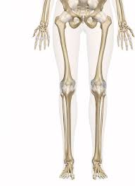 Picture Of Human Knee Muscles Bones Of The Leg And Foot Interactive Anatomy Guide