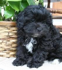 shi poo shihpoo html poodle mixed breeds teddybearpoo shihtzu mix puppy