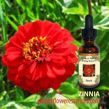 Zinnia Flower Zinnia Flower Essence Zinnia Flower Remedy