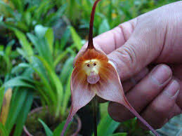 the amazing monkey orchid kuriositas