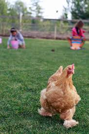 Chickens For Backyard All About Raising Chickens And Eggs Yummy Mummy Kitchen A