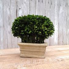 Mantel Topiaries - 18 best preserved boxwood topiary images on pinterest boxwood