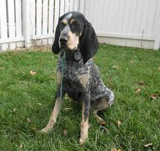 bluetick coonhound uk breeders the ultimate dog breeds list pet symptoms guide