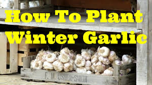 how to plant winter garlic second no dig bed youtube
