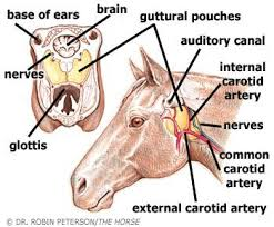 Signs Of Blindness In Horses Equine Gutteral Pouch Rare But Worth Understanding Horse And Man