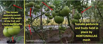 tomato support with hortomallas trellis netting increases your profit